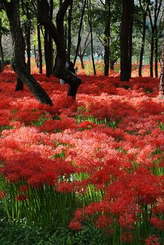"""Red Spider Lily forest (my grandmother called them """"Naked Ladies""""!)"""