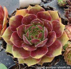 Sempervivum 'Spanish Dancer' Succulent Gardening, Succulent Terrarium, Planting Succulents, Planting Flowers, Sempervivum, Echeveria, Types Of Succulents, Colorful Succulents, Growing Succulents