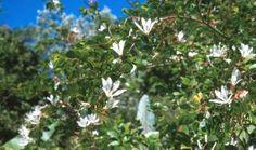 Bauhinia bowkeri Plants, Plant, Planets