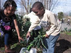 School children at the Malcolm X school garden harvesting tasty Lacinato kale otherwise known as Dinosaur kale due to its bumpy reptilian-looking skin.