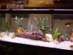 Fancy Goldfish tank