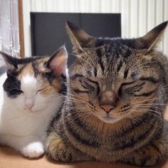 「ごんざぶろう顔デカいな... #猫#ネコ#cat」