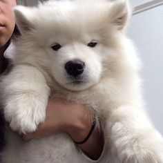 Samoyed puppy... as irresistible as it gets.