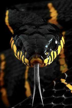 Caninana...a brazilian non venomous snake - beautiful!