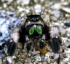 Amphibians, Reptiles, Jumping Spider, Black Widow Marvel, Sea Creatures, Pet Portraits, Art Reference, Wildlife, Pets