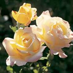 Everything you want to know about growing roses - how to plant, fertilize, and prune. Tips on disease and insect control. Descriptions of different types of roses - and photos of some beauties!