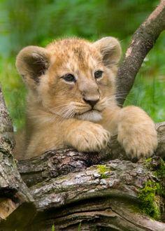 Cotswold Wildlife Park's Lion cubs DSC_0156 (22) photo credit Natasha Jefferies