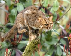 Taken at the WHF in Kent. Rusty spotted cat by Colin Langford Small Wild Cats, Small Cat, Big Cats, Cats And Kittens, Majestic Animals, Rare Animals, Beautiful Cats, Animals Beautiful, Rusty Spotted Cat