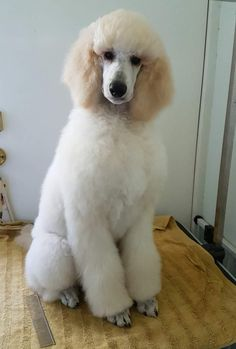 Zoo 2, I Love Dogs, Cute Dogs, Poodle Cuts, Poodle Grooming, Dog Grooming Business, Standard Poodles, Purebred Dogs, Lab Puppies