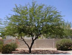 Prosopis chilensis (Chilean mesquite). Thornless mesquite trees. Desert tree. Minimal watering.