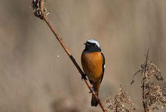 ジョウビタキ : T/Hの野鳥写真-Ⅰ