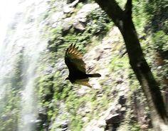 Zopilote volando bajo una caida de agua