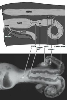 Diagram of the reproductive anatomy of a cow (AI)