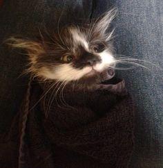 This post-bath purrito. | 19 Purrito pictures - cutest cats, ever!