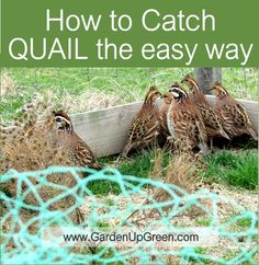 How to Catch Quail the Easy Way