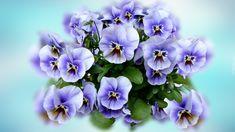 Kwiaty, Bratki, Niebieskie tło