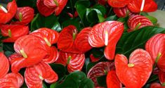 How to Grow Anthurium Plants, Growing Anthuriums in pots, Flamingo flower. Anthurium is a tropical plant and is native to Central and South America.
