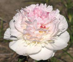 Madame de Verneville  Originator: (Crousse 1885)   Cultivar group: Lactiflora   Bloom period: Midseason  Flower form: Bomb