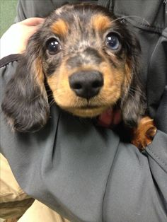 Dachshund Puppy  I love this color combo!!