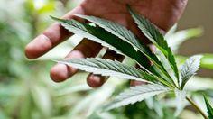 Cannabis: Eine verbotene Droge wirkt besser als alle Medikamente