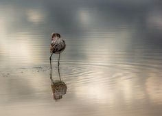 flamingo by valentino.villa.5