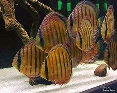I'm pretty sure these are wild discus. Beautiful fish either way.