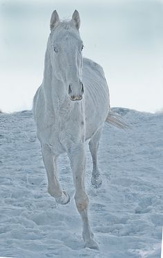 Habib the snow horse owned by Keri-Jo on Flickr. Habib is naturally lean. He is a rare albino and well cared for by a family of professional horse breeders. Winter colors.