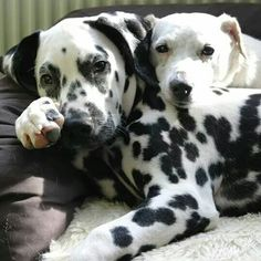 Good buddies..... Dalmatian and friend