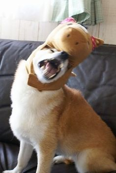 27 Signs You Are A Shiba Inu