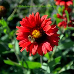 """ÜBER DIE ARBEIT: """"Arbeit ist sichtbar gemachte Liebe"""" - Khalil Gibran auf #KokopelliBeeznessJournal   Image: Bee on Dahlia © Stefanie Neumann - All Rights Reserved; #KBFPhotography"""