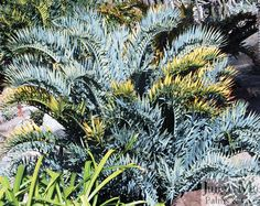 """Encephalartos horridus.  This is a """"blue"""" (plant speak for silvery plants) cycad from South Africa.  Blue cycads are by far a customer favorite.  There really aren't any plants which match the look of these."""