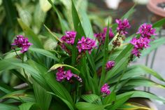 Grapette Ground Orchid (Spathoglottis unguiculata) 'Grapette' (April This is a beautiful, small terrestrial orchid with deep pur. Bali Garden, Tropical Garden, Tropical Plants, Herb Garden, Ground Orchids, Orchidaceae, Types Of Plants, Planting Seeds, Plant Care