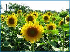 Tips dan Cara Budidaya Bunga Matahari Dengan Baik Dan Benar