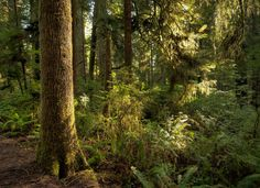 """""""Endor"""" aka Jedediah Smith Redwoods State Park in far Northern California... Stunning Redwood forest 7hrs from civilization but its isolation & tranquility is unmatched anywhere in the world"""