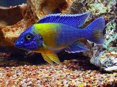 Cellar Aquatics - Venustus - Malawi Cichlid at Aquarist Classifieds