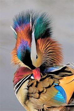 M - Mandarin Duck, Canard mandarin, Eurasie Canard Mandarin, Mandarin Duck, Pretty Birds, Beautiful Birds, Animals Beautiful, Beautiful Things, Exotic Birds, Colorful Birds, Colorful Animals