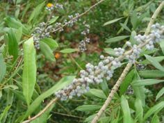 Southern Wax Myrtle- smallish tree/shrub (15'), berries can used to make wax for candlemaking. Nitrogen fixer.
