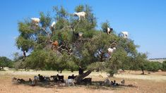 Moroccan goats perched in an argan tree. The goats climb the trees and ingest the fruit of the tree and pass the nut that they cannot ingest. Those nuts are collected to make argan oil. (Perry McKenna / Getty Images)
