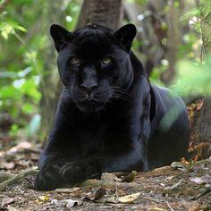 černý jaguár - Hledat Googlem