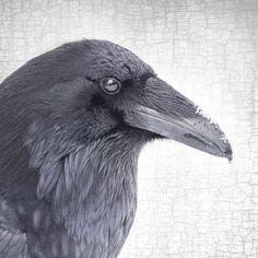 RAVEN REFLECTION - Fine Art Print, Raven Portrait Series