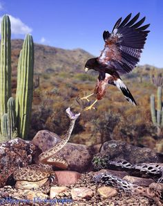 Rattlesnake and Harris Hawk doing battle -Warren Photography
