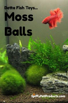 Cat Nutrition Guide Moss Balls Are Great Betta Fish Toys! - Your definitive guide to Betta fish toys. Which ones you need, why you need them and where to get them without breaking the bank. Betta Fish Toys, Betta Fish Care, Aquarium Fish Tank, Planted Aquarium, Aquarium Ideas, Fish Tanks, Fish Aquariums, Aquascaping, Betta Tank