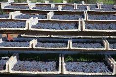 Una delle caratteristiche dell'Isola d'Elba é la presenza di ottimi vitigni autoctoni quali il Sangioveto, l'Ansonica, il Procanico, il Moscato oltre al celeberrimo Aleatico.