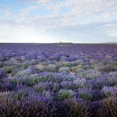 Lavender Fields   Young Living Farm   Mona, Utah