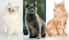 What's your favorite trait in a cat? You might want to lean toward a particular breed.