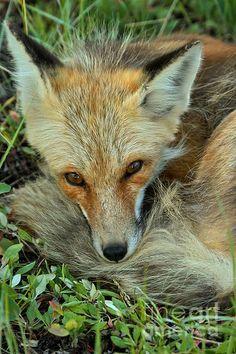 Red Fox by Adam Jewell