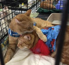Your re-pins can help keep these two FIV+ California kitties together forever in a loving new home! Will you help?  Call 951-222-2104 or email info@petrescuethrift.com to find out more!