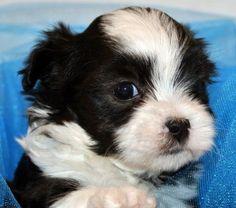 cute malshi puppy