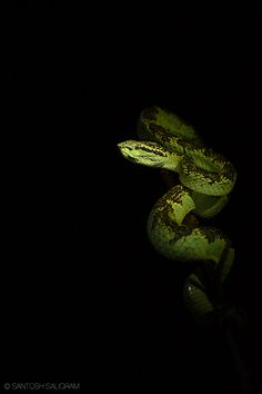 #Green pit viper by Santosh Saligram. #snake #reptile #venomous