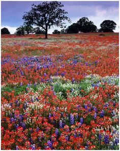 Peppergrass, bluebonnets and Indian paintbrush, Llano County, TX Beautiful World, Beautiful Places, Beautiful Pictures, Indian Paintbrush Flowers, Champs, Texas Bluebonnets, Blue Bonnets, Landscape Photos, Beautiful Landscapes